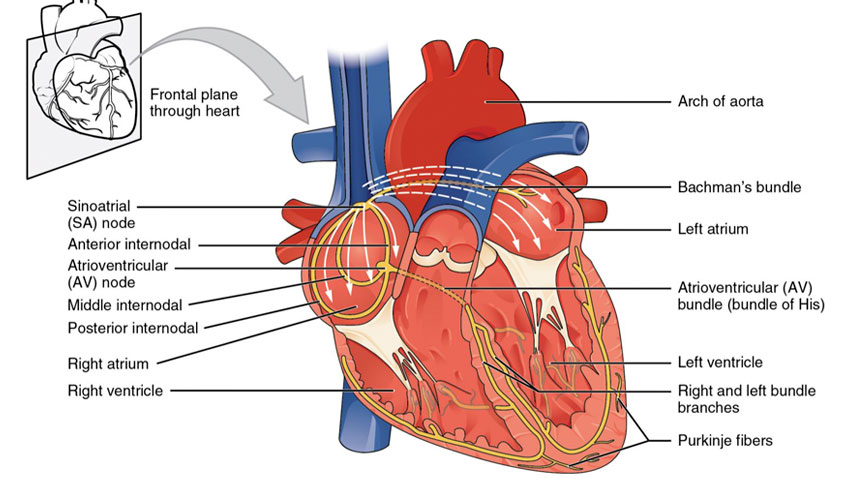 The Heart And Its Electrical System